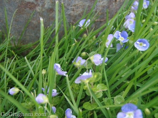 Go Gingham: Spring flowers in our grass