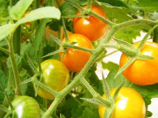 Sungold tomatoes from Go Gingham