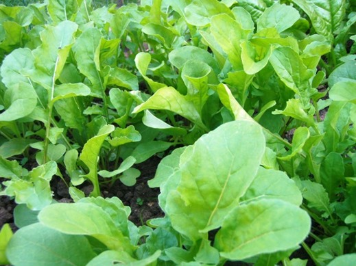 Go green and grow lettuces