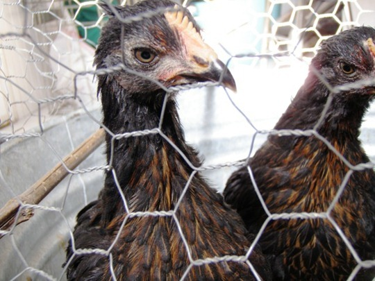 Moving Pullets to the Hen House