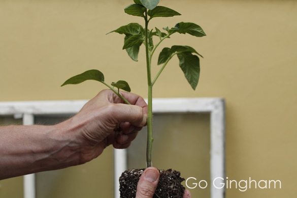 How to plant tomatoes from Go Gingham