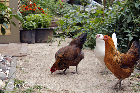 Backyard Chickens Go Gingham