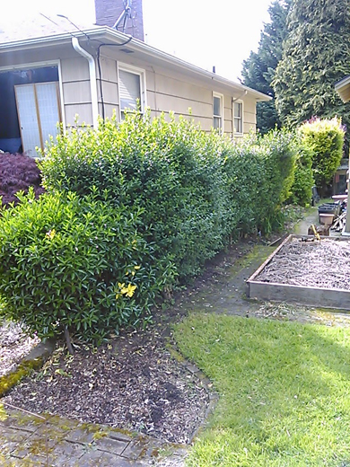 before hedge removal Go Gingham