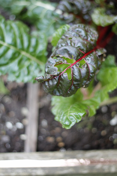 Swiss Chard Vegetable Bed Go Gingham