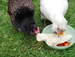 Backyard chickens love corn1 (1)