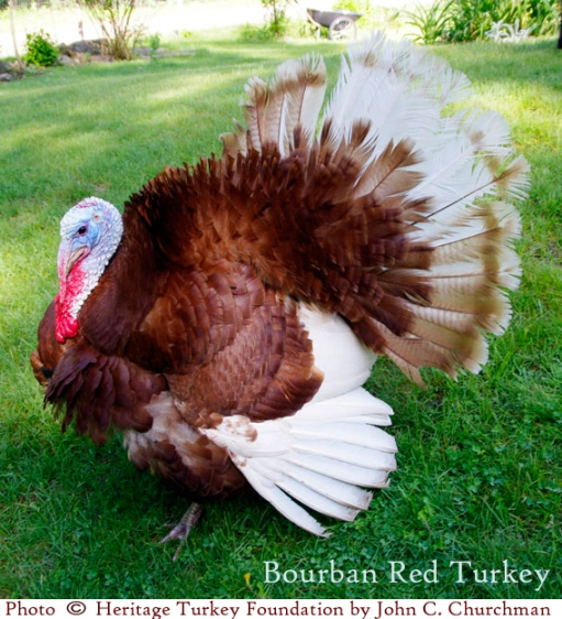 Go Gingham: Heritage Breed Bourban Red Turkey
