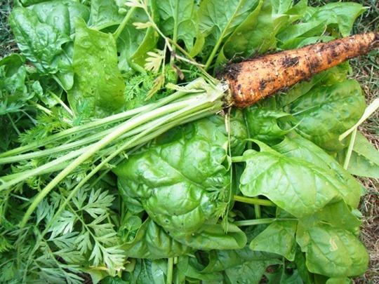 Grow carrots in your garden!