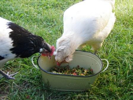 Go Gingham: Chickens eating strawberry tops